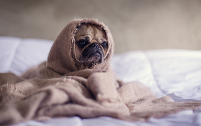 image for Canine Influenza Virus Update: The Situation in Canada and the United States